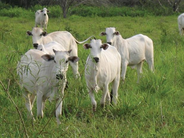 Criação de bovinos no Pantanal sul-mato-grossense.