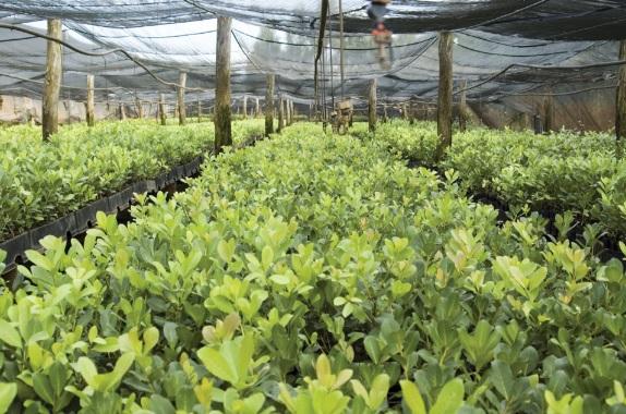 Plantação de erva-mate no estado do Paraná
