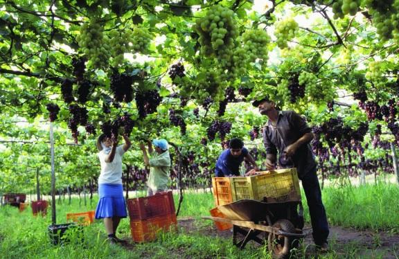 Em Jales destaca-se a produção de uvas.