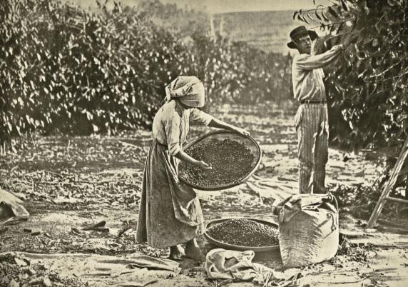 Colheita e seleção de café na fazenda de Santa Ubaldina, 1921. Bebedouro (SP).